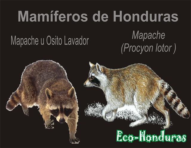 mapaches2