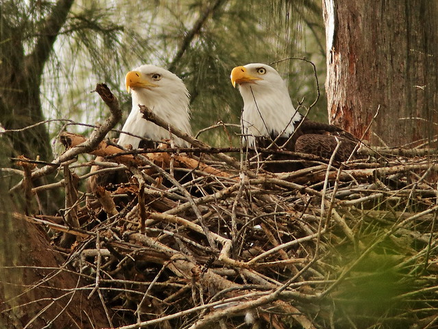 Bald Eagle female Jewel and male Pride 090054AM  20191124