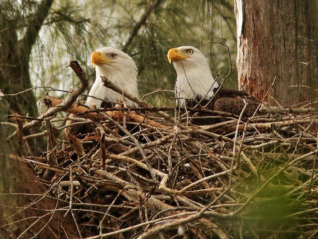 Bald Eagle female Jewel and male Pride 090054AM 20191124