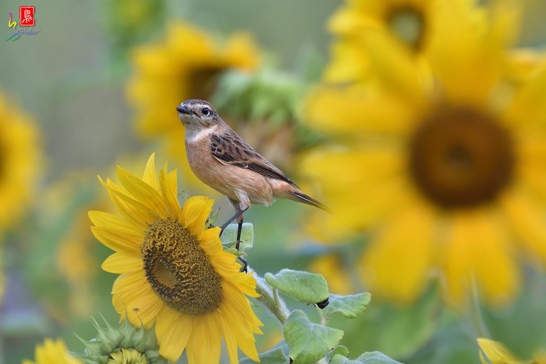 Sunflower_Stonechat_8212