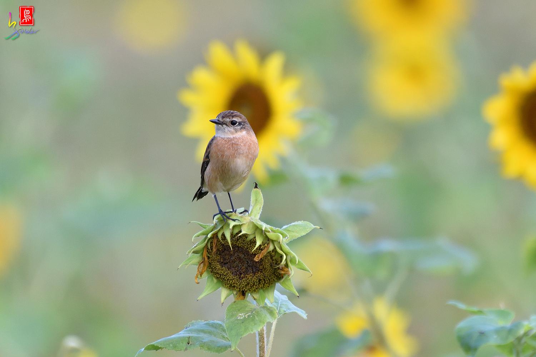 Sunflower_Stonechat_8157