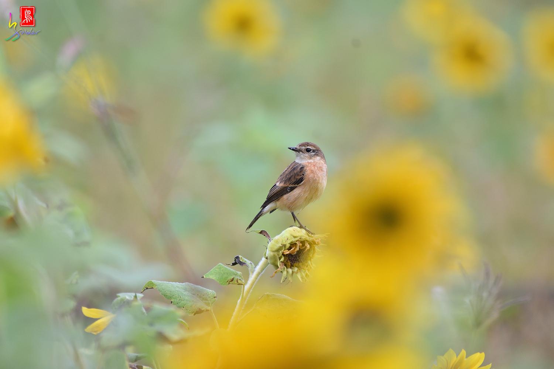 Sunflower_Stonechat_8129