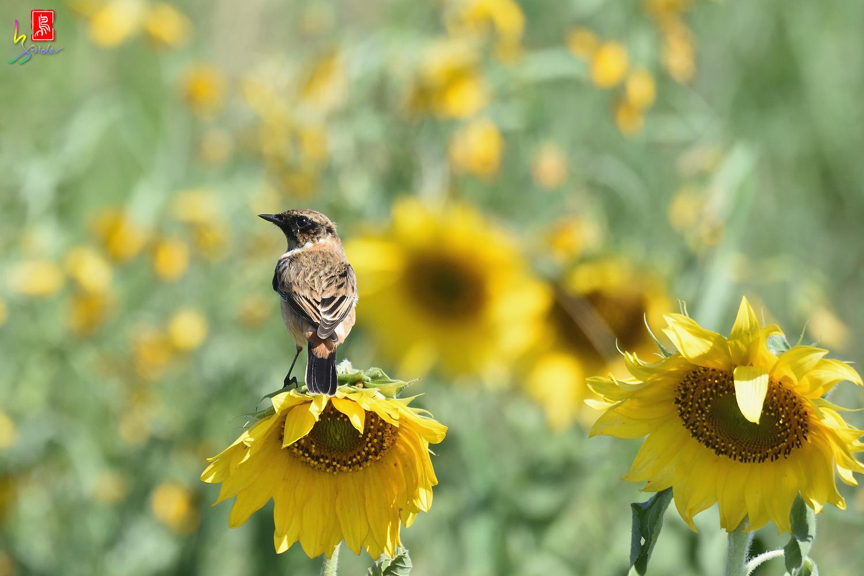 Sunflower_Stonechat_5102