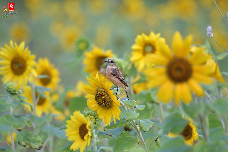 Sunflower_Stonechat_4598