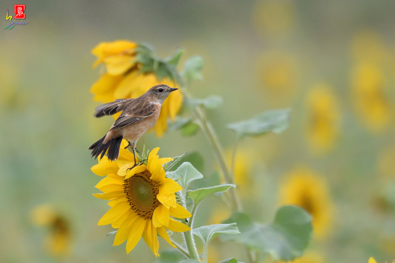 Sunflower_Stonechat_3601