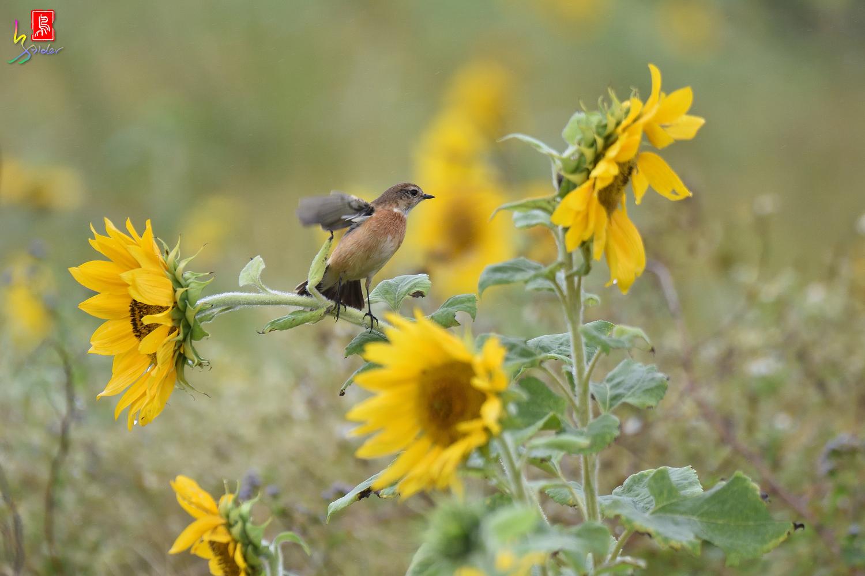 Sunflower_Stonechat_3489