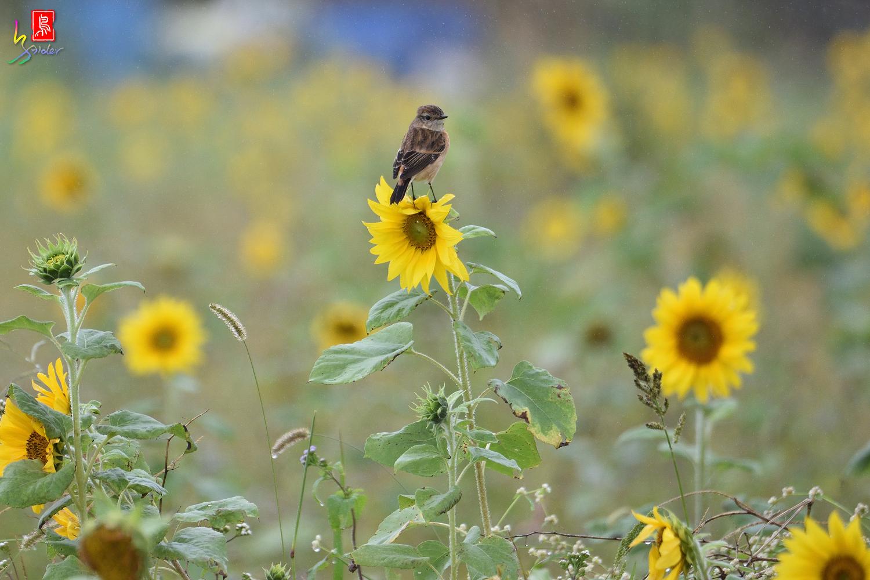 Sunflower_Stonechat_3477