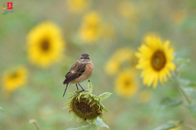 Sunflower_Stonechat_3394