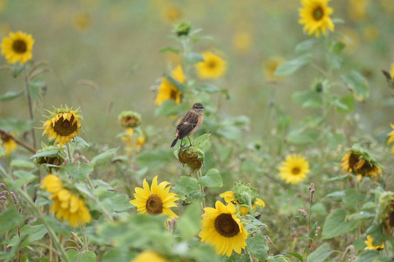 Sunflower_Stonechat_3207