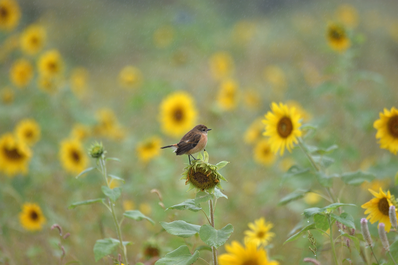 Sunflower_Stonechat_3199