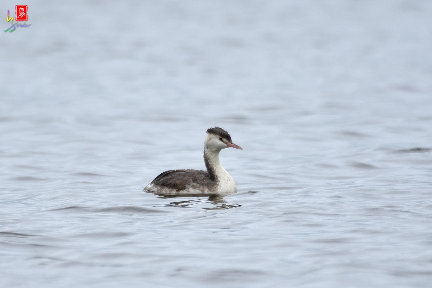 Crested_Grebe_2516