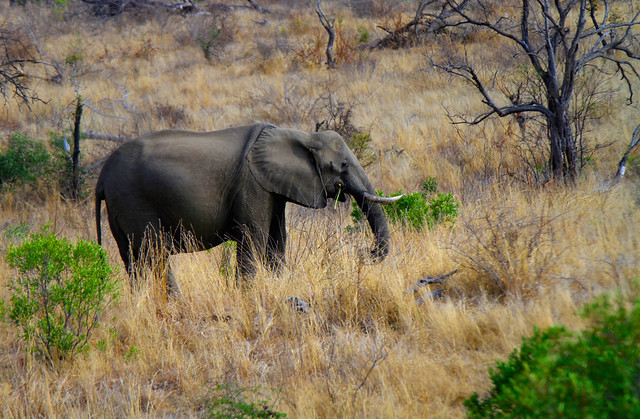 African Elephant at Kruger National Park in South Africa