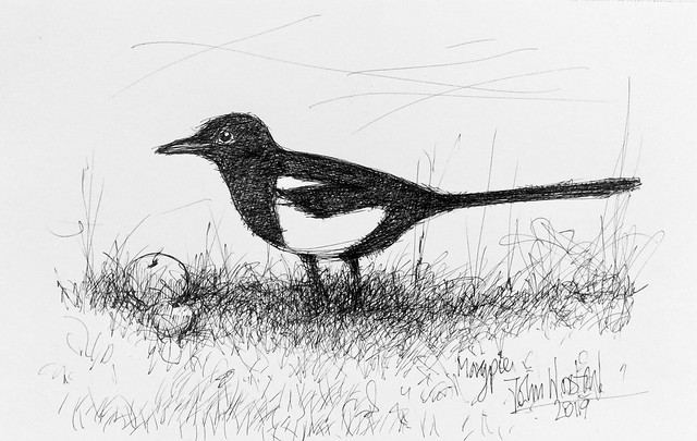 Magpie. Pen and ink only, drawn by jmsw