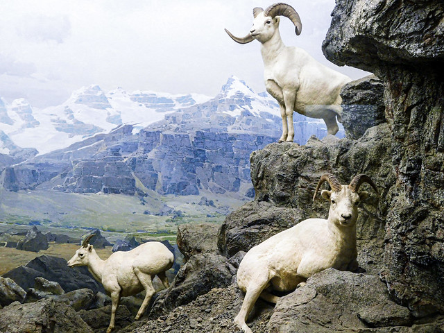Dall's Sheep