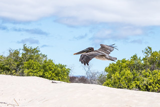 Low flying Pelican