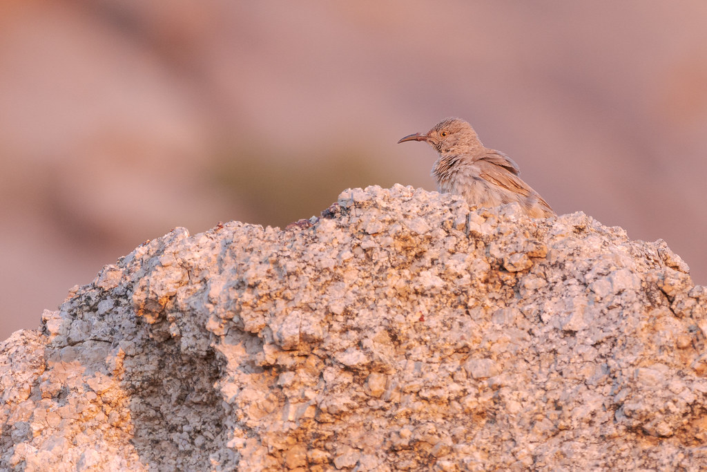 A curve-billed thrasher perches atop a rock, dried saguaro fruit clinging to its beak, in the reddish light of sunrise on the Marcus Landslide Trail in McDowell Sonoran Preserve in Scottsdale, Arizona in June 2019