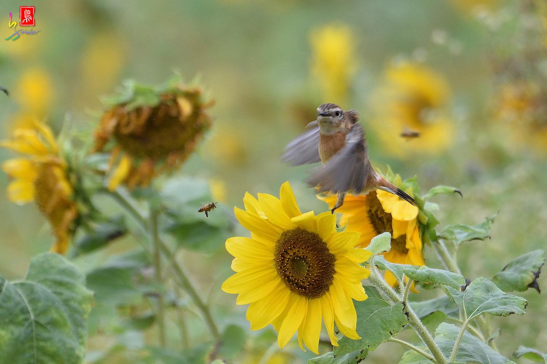 Sunflower_Stonechat_Bee_3837