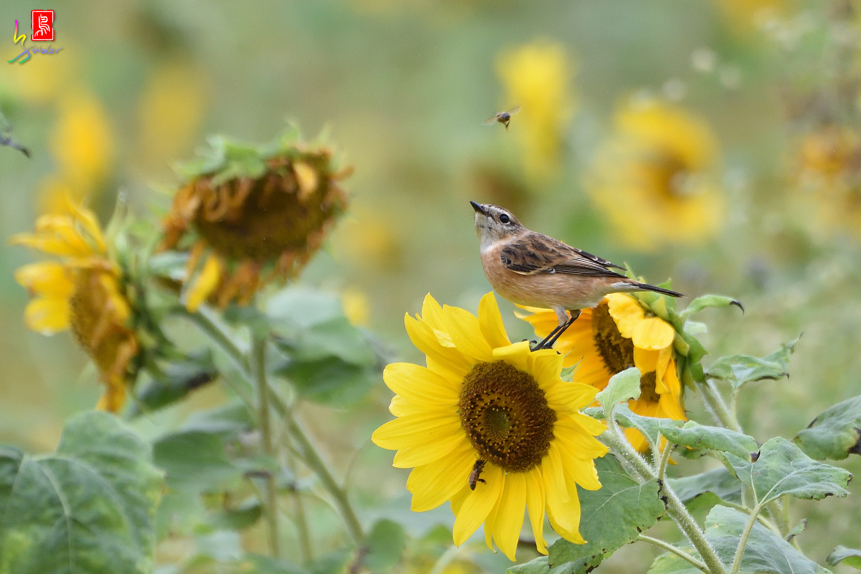 Sunflower_Stonechat_Bee_3830