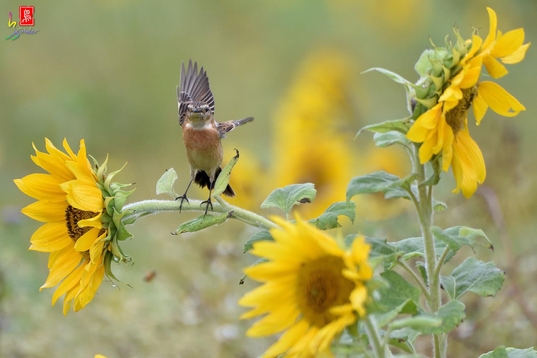 Sunflower_Stonechat_3761