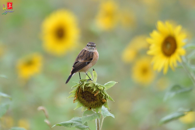 Sunflower_Stonechat_3759