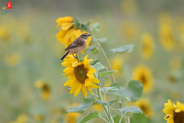Sunflower_Stonechat_3603