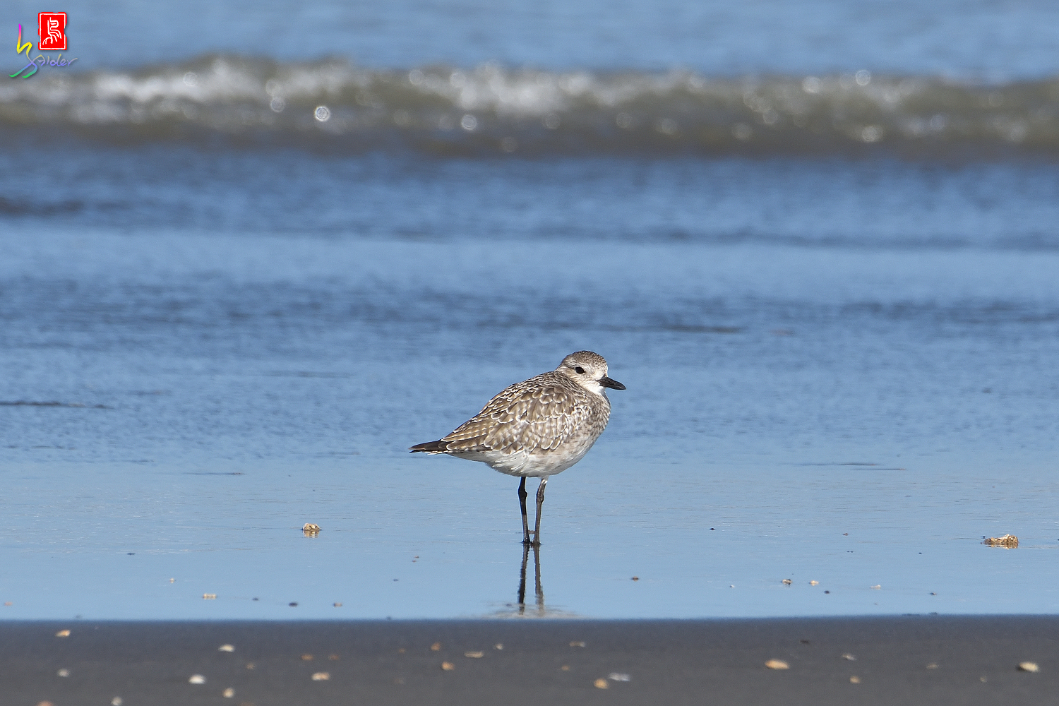 Gray_Plover_4998