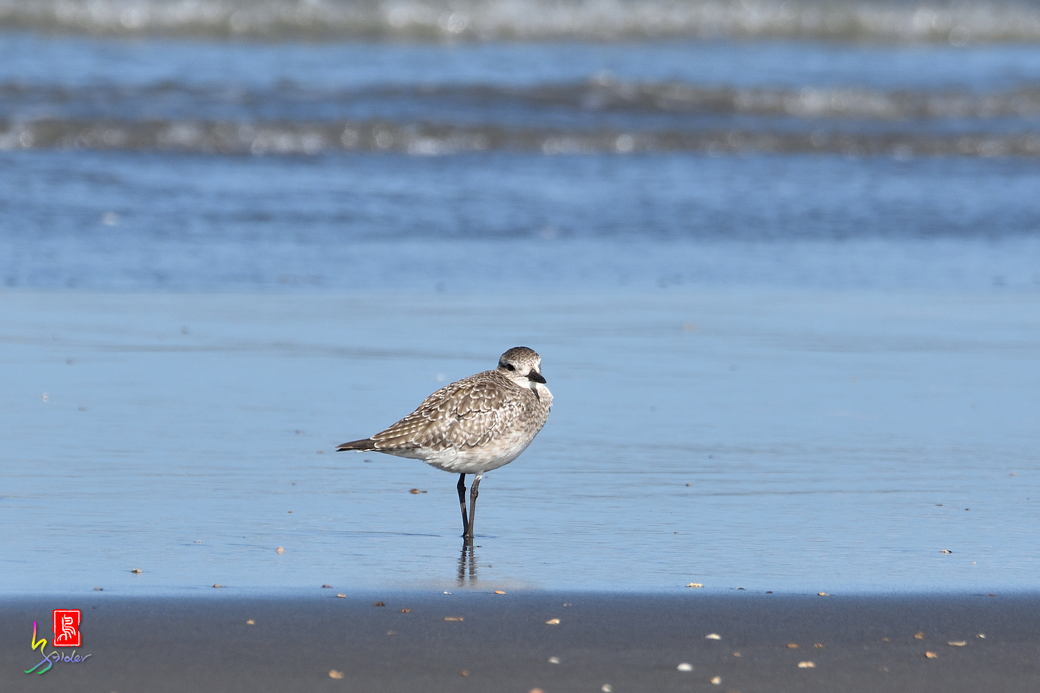 Gray_Plover_4988