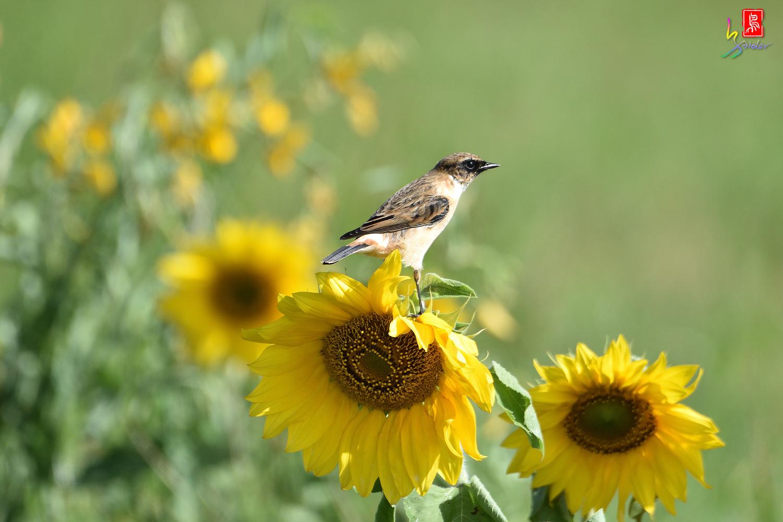 Sunflower_Stonechat_5037