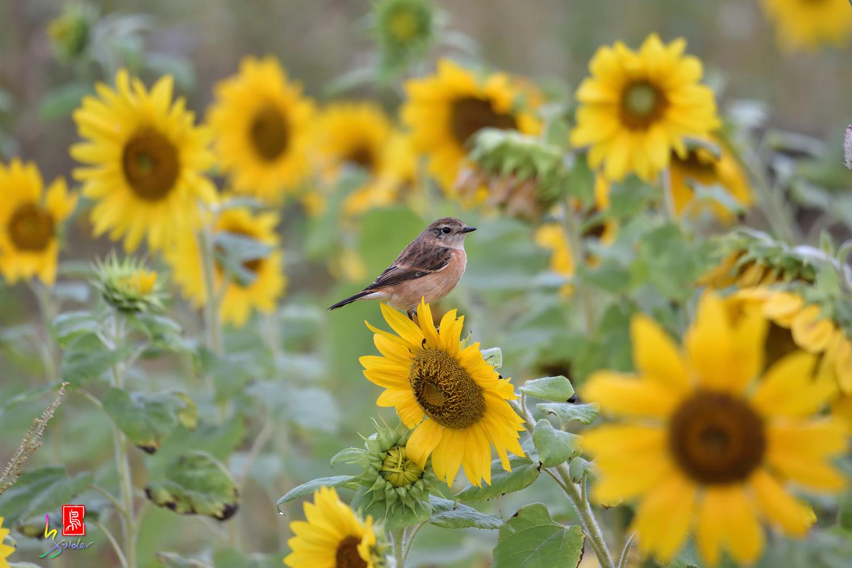 Sunflower_Stonechat_4591