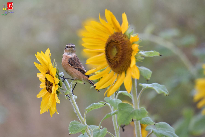 Sunflower_Stonechat_4575