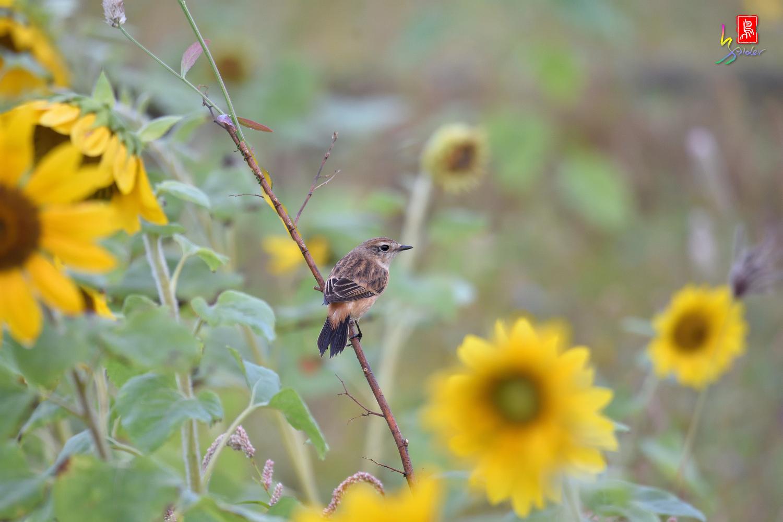 Sunflower_Stonechat_4566