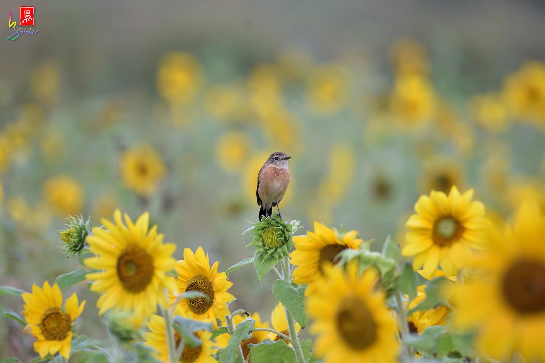 Sunflower_Stonechat_4537