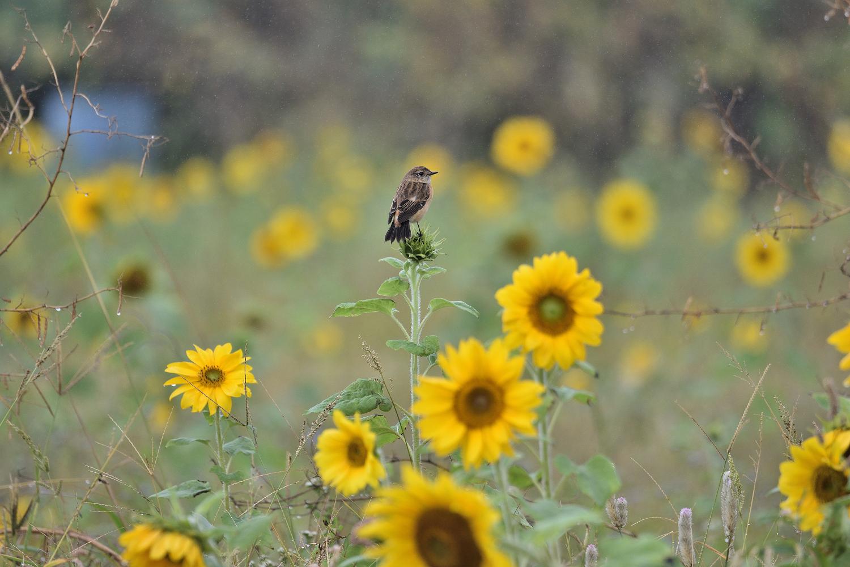 Sunflower_Stonechat_3440