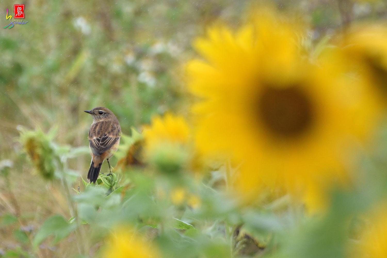 Sunflower_Stonechat_3345