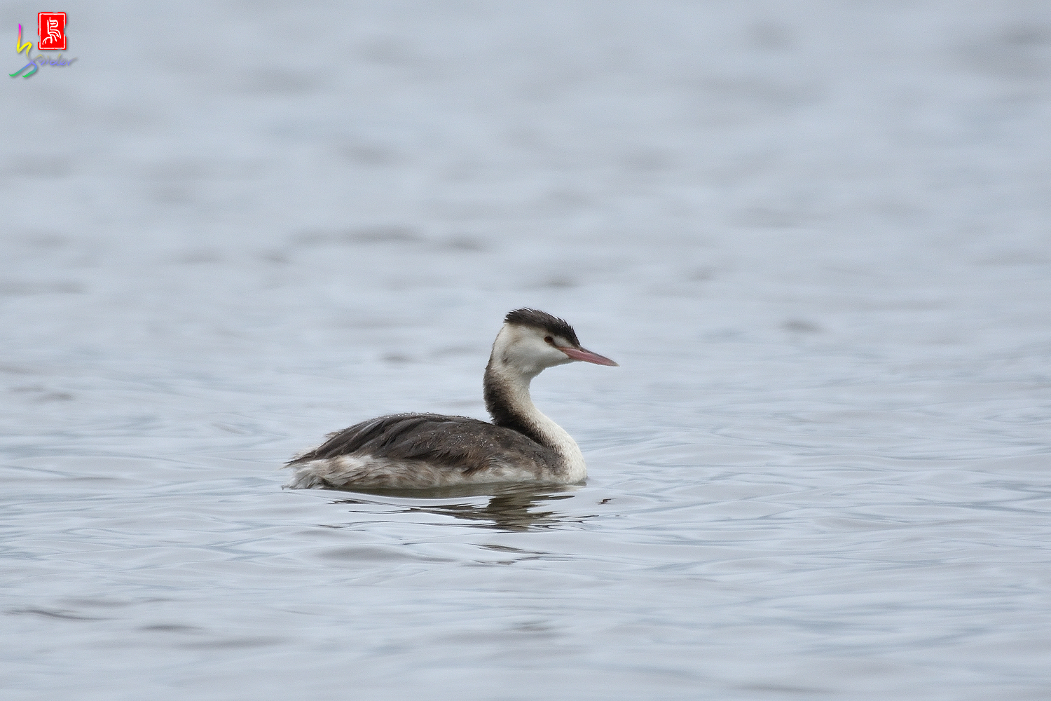 Crested_Grebe_2530