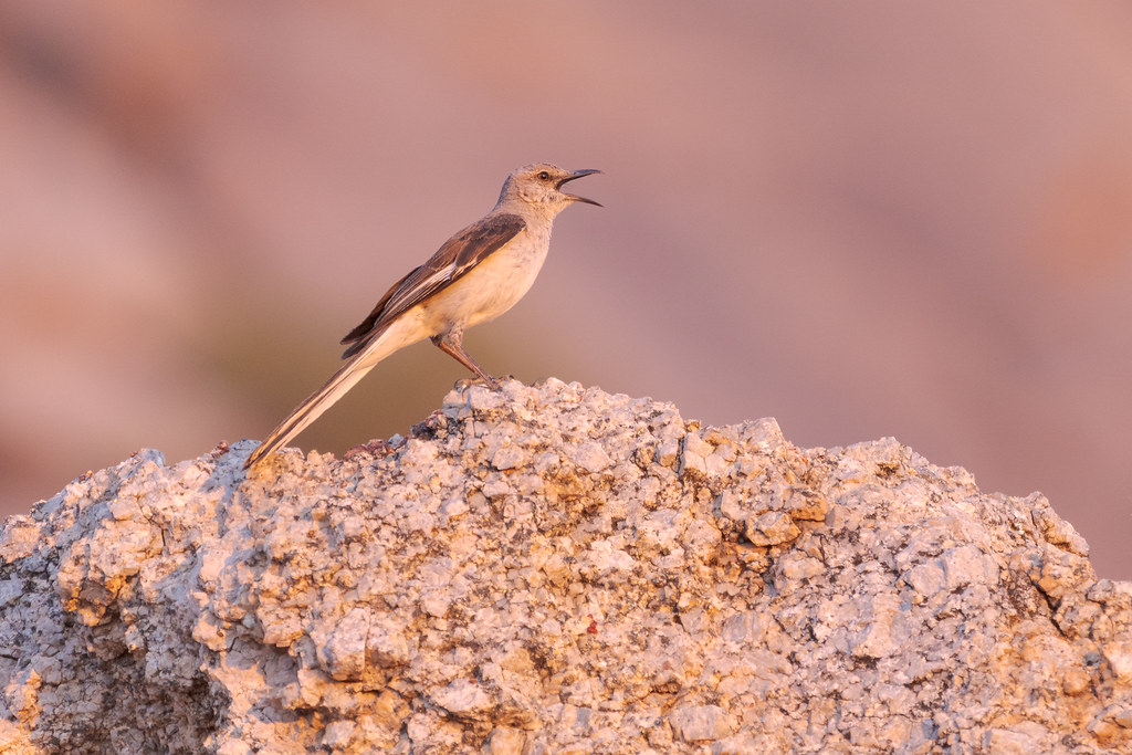 A northern mockingbird sings in the reddish light of sunrise atop a rock on the Marcus Landslide Trail in McDowell Sonoran Preserve in Scottsdale, Arizona in June 2019