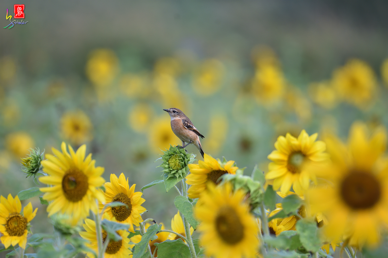 Sunflower_Stonechat_4602