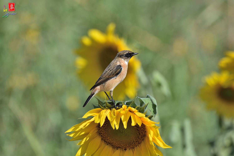 Sunflower_Stonechat_8322