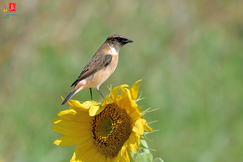 Sunflower_Stonechat_8270
