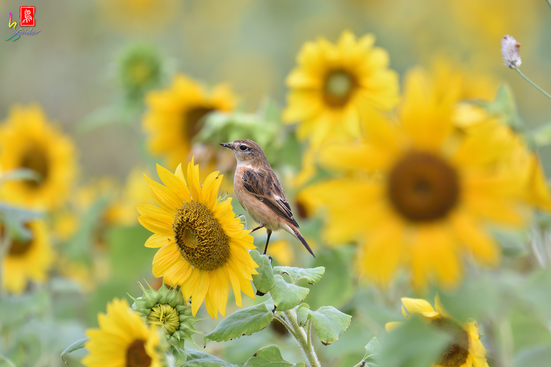 Sunflower_Stonechat_8101