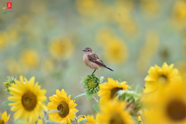 Sunflower_Stonechat_8086