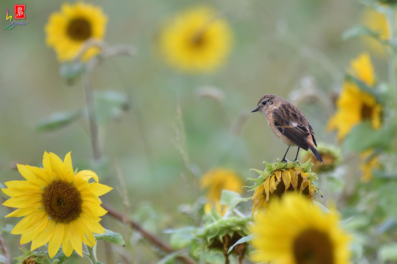 Sunflower_Stonechat_8070
