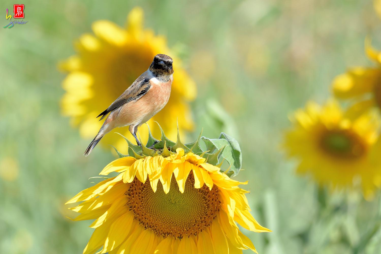 Sunflower_Stonechat_5137