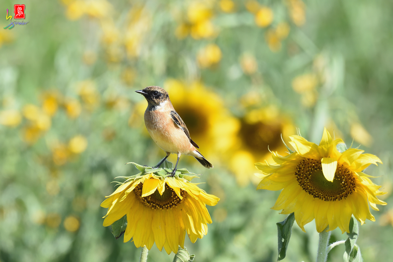 Sunflower_Stonechat_5094