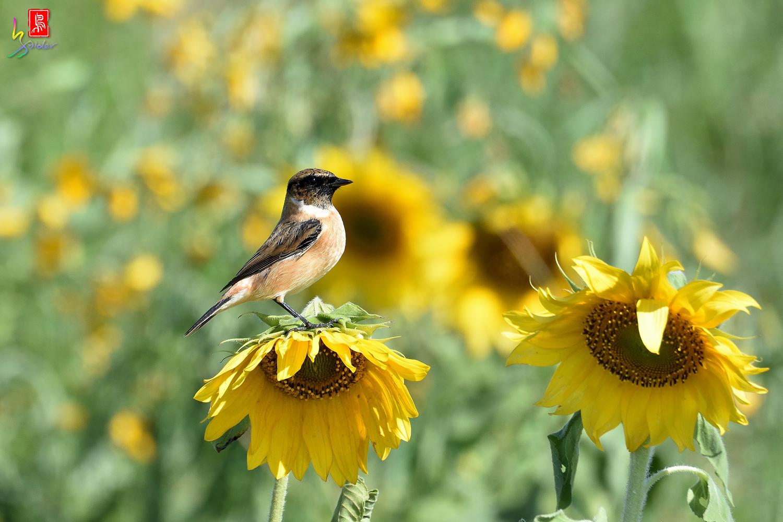 Sunflower_Stonechat_5076