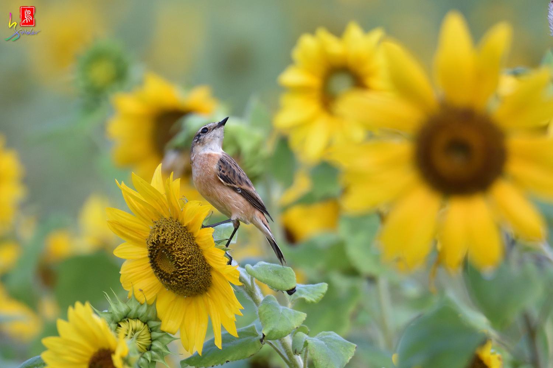 Sunflower_Stonechat_4600