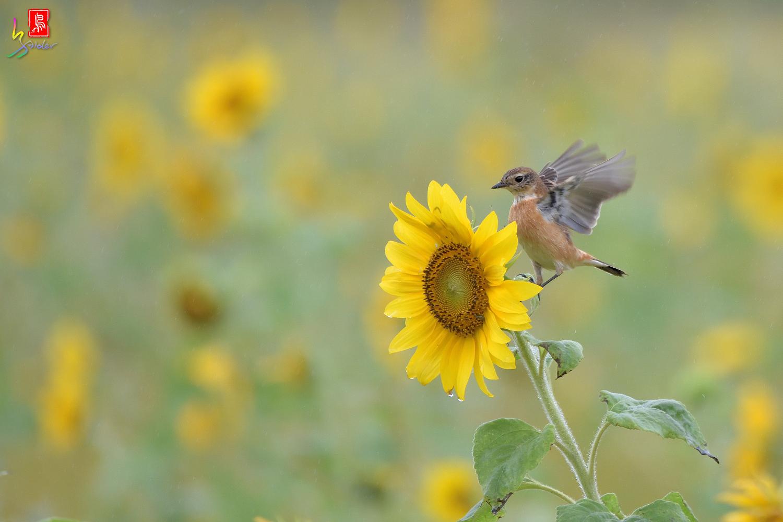 Sunflower_Stonechat_3534