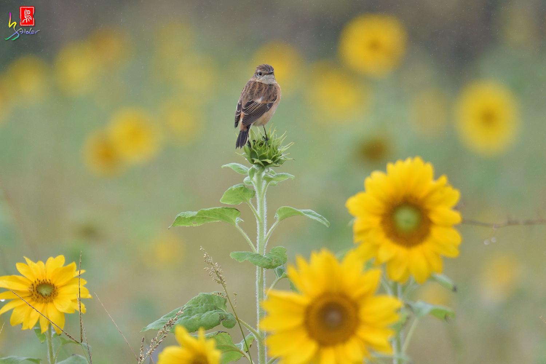 Sunflower_Stonechat_3439