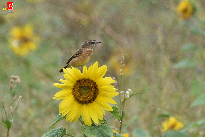Sunflower_Stonechat_3216