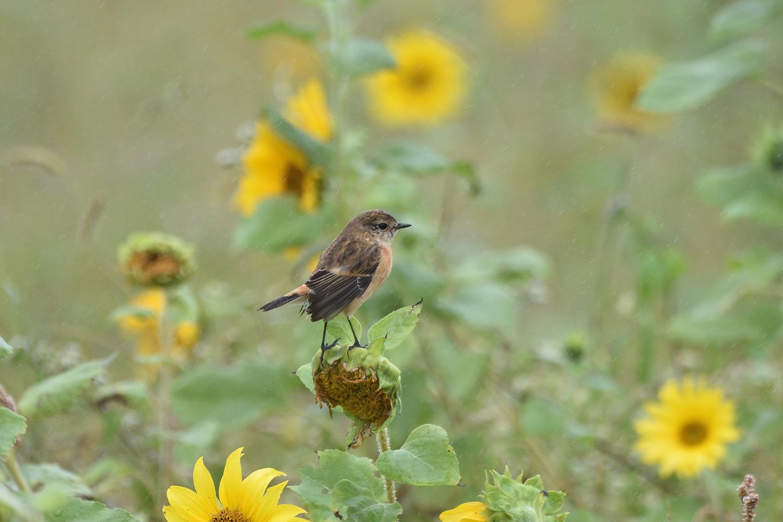 Sunflower_Stonechat_3211